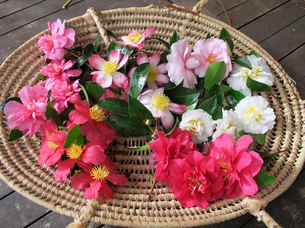 sasanqua camellias (2)