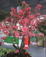 The $2000 azalea bonsai, spotted in Foshan, China