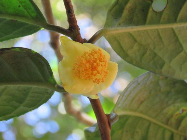 Camellia euphlebia