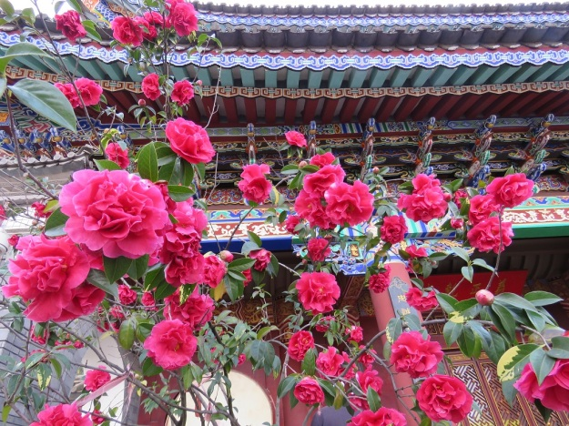 Reticulata camellias are used extensively in public plantings in the Yunnan, such as this one at a temple in Dali.
