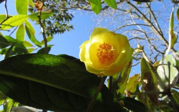 Camellia impressinvervis