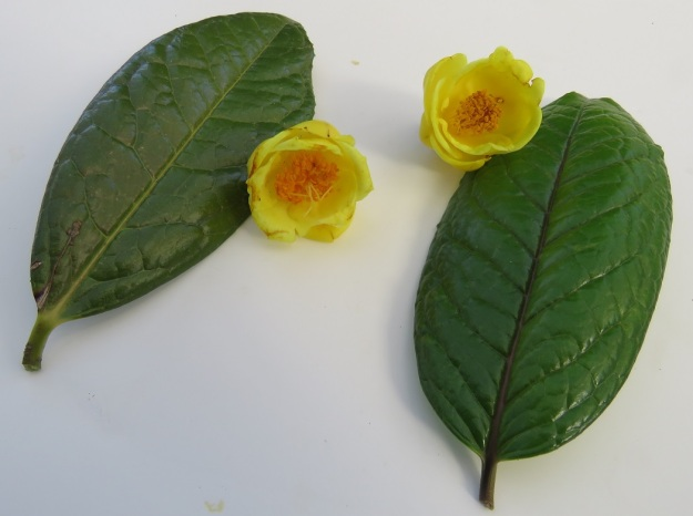 C. impressinervis to the left, C. nitidissima to the right