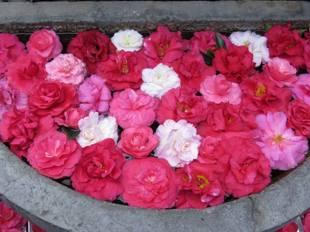 Zhangjia Garden – a modern recreation of traditional vernacular architecture with extensive displays of camellias (10 000, apparently), almost all grown in containers in the five internal courtyards. The majority are reticulatas, as can be seen in this temporary display in a stone trough.