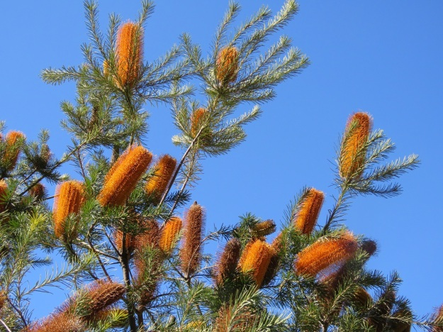 Banksia species in abundance at the Botanical Gardens in August