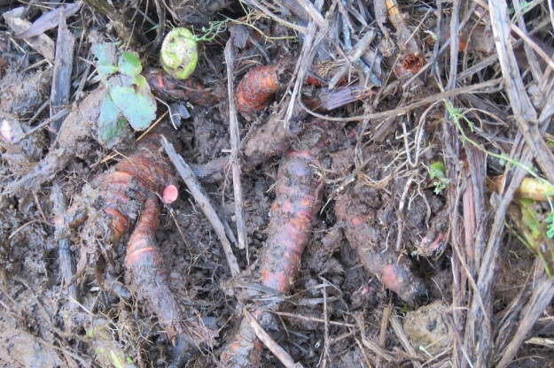 Behold the offending rhizomes