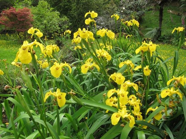The offending flag iris