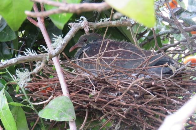 Baby kereru in residence