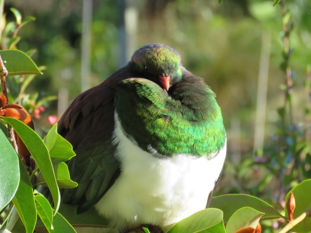 The handsome kereru, our native wood pigeon