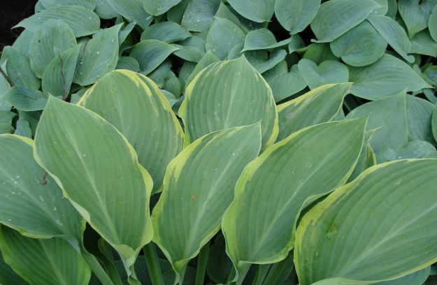 Hosta Regal Splendour (front) and Fragrant Blue