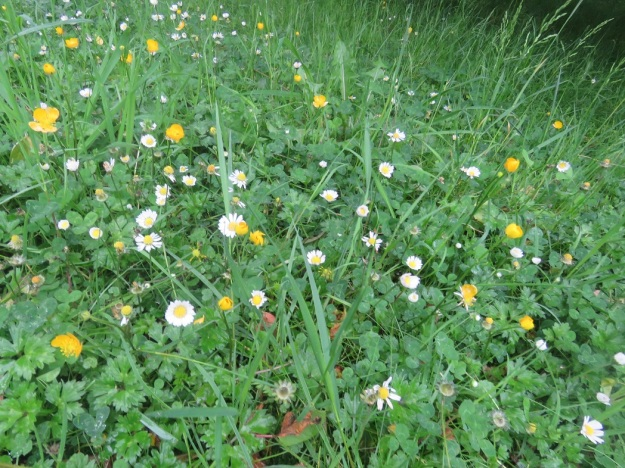 Buttercups and daisies - weeds or a meadow?
