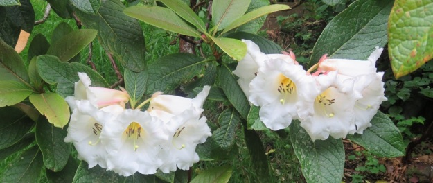 I think the Americans will like our sino nuttallii rhododendrons in bloom (and we won't mention their new president)