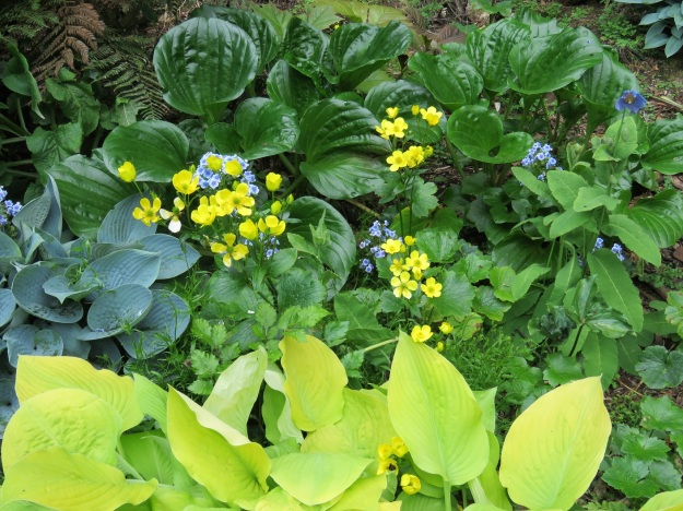 Hostas planted with Ranunculus cortusifolius, Chatham Island forget-me-not and meconopsis