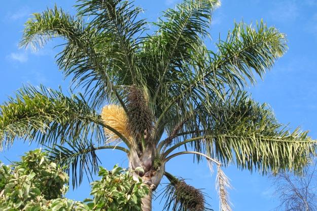 Queen palm (Syagrus romanzoffiana)