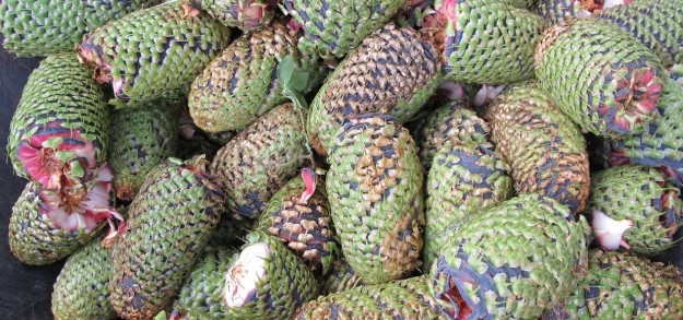 Many Abies procera cones