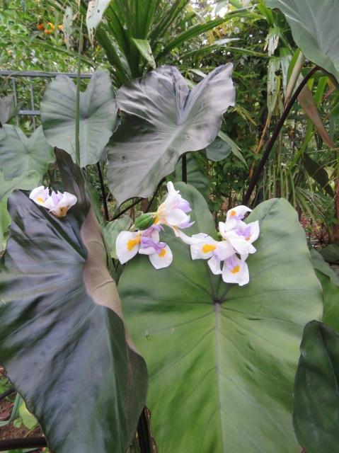 Dark colocasia with dietes