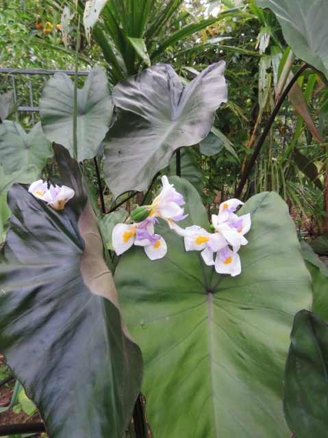 Dark colocasia with dietes