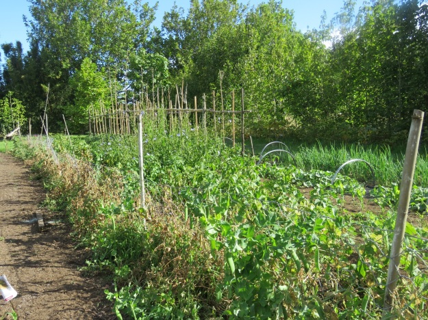 One of his vegetable patches. He calls this one his allotment.