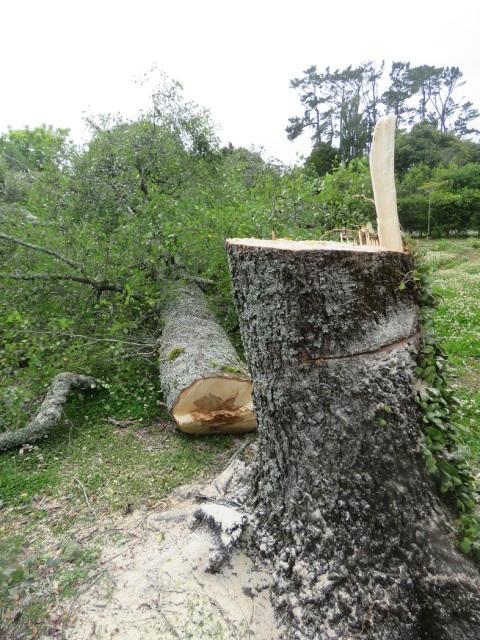 Betula pendula is to be winter firewood
