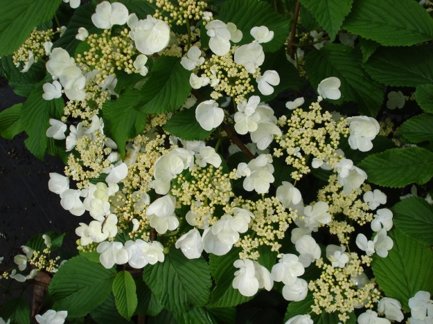 For the purpose of comparison - Hydrangea petiolaris