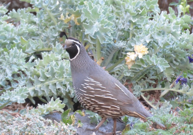 If we still had a cat, we would not have the ground-dwelling quail