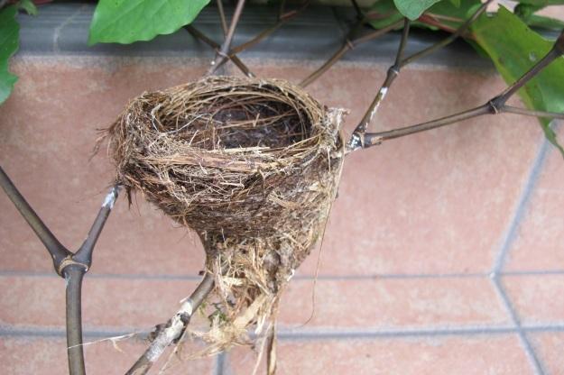 Fantail nest