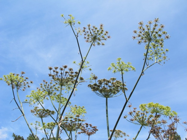 Fennel, seen as a roadside weed here but I think it will fit well in the grass garden