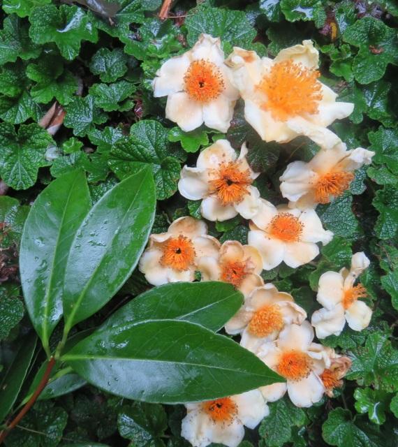 Not a camellia - a tutcheria, we think