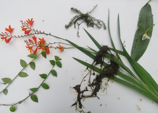 Clockwise from top left: crocosmia, oxygen weed, wretched Cape Pond Weed, blanket weed and tradescantia