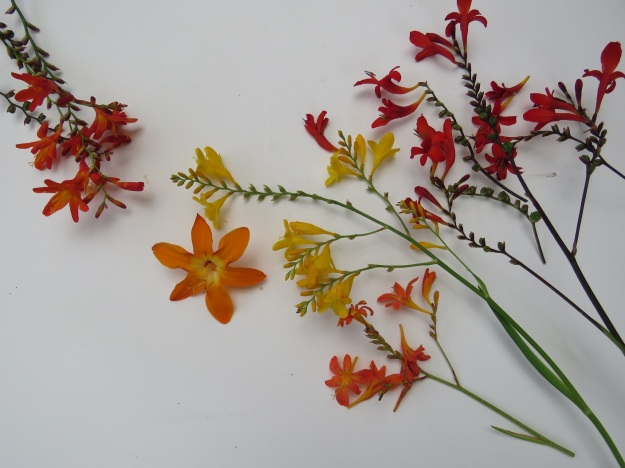 Crocosmia - from left: the roadside weed known as montbretia which is way to invasive to introduce to the garden, a spectacular large orange form that unfortunately does not increase quickly at all, yellow and orange forms and red 'Lucifer' for the new garden