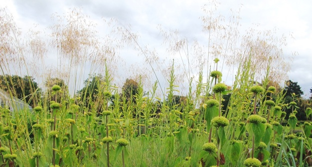 Stipa gigantea, with phlomis, at Wisley. Lovely ethereal seed heads but unproven in our conditions
