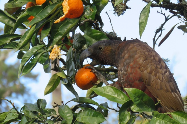 We have seen the kaka again recently so it appears to be resident in the area