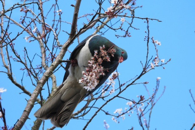 Our beautiful but lumbering native pigeon - the kereru