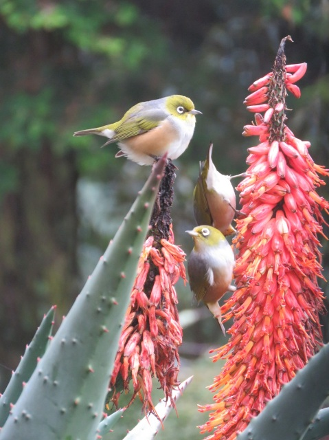 Waxeyes feeding from aloe