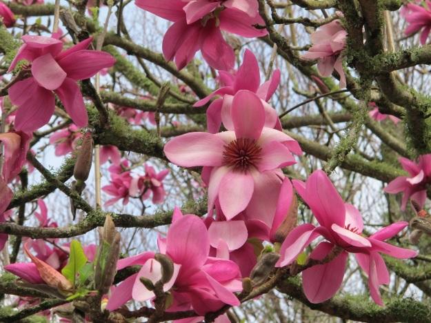 New Zealand Magnolias Tikorangi The Jury Garden
