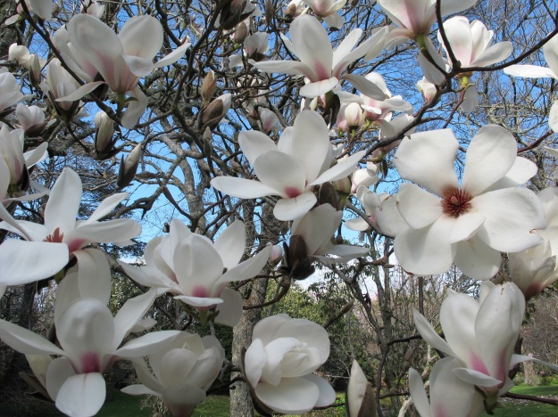 New zealand magnolias tikorangi the jury garden magnolia lotus mightylinksfo