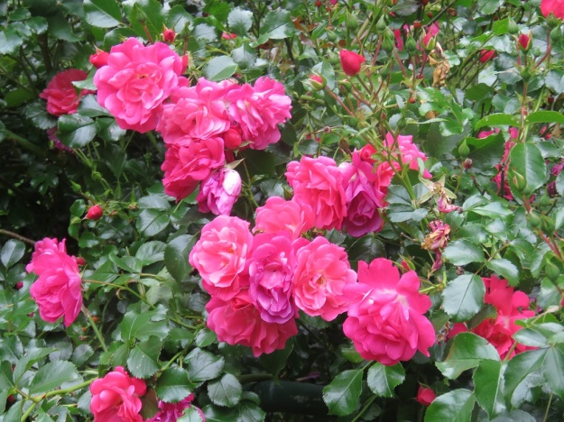 A love hate affair with rose bushes continues tikorangi the jury it is very very pink is rose flower carpet pink but just look at that foliage superb mightylinksfo