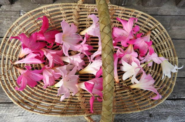 Naked Lady Flowers Tikorangi The Jury Garden