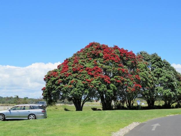 The New Zealand Christmas Tree But Not All Are Equal Tikorangi