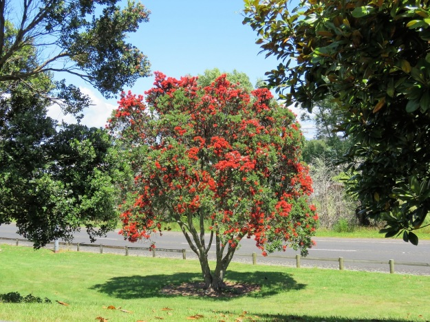 The New Zealand Christmas Tree But Not All Are Equal Tikorangi